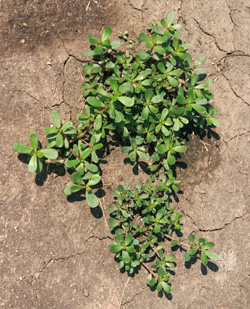 Common purslane is a low-growing plant with succulent leaves.