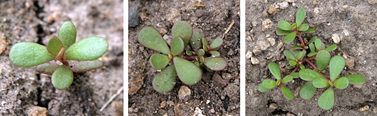 A seedling of common purslane (L) and small plants, just beginning to branch (C and R).