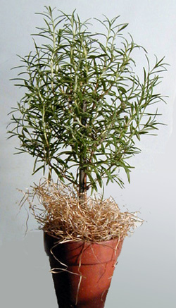 Rosemary is used for many purposes.
