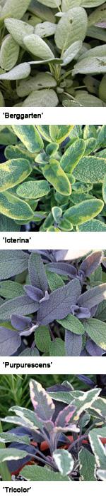 Some sage cultivars.
