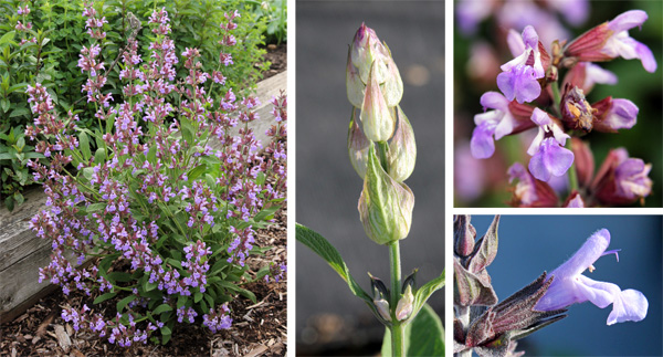 Sage blooming (L), elongating flower spike (C) and close-up of the two lipped flowers (R).