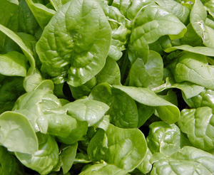 Bloomsdale Long Standing spinach.