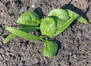 Olympia spinach seedlings, with their long, narrow cotyledons and rounded true leaves.