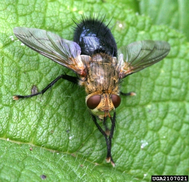 The tachinid fly Archytas apiciferi. David Cappaert, www.insectimages.org