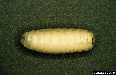 The larva of a tachinid that is a larval parasitoid of the nun moth (Lymantria monacha). Petr Kapitola, Forestry and Game Management Research Institute - Czechia, www.insectimages.org