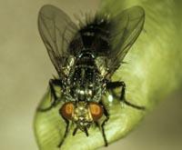 Adult Voria ruralis fly.