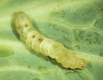 A cabbage looper parasitized by three Voria ruralis larvae; the dark spots are their breathing tubes.