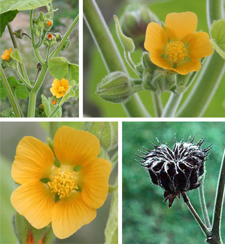 Velvetleaf blooms in leaf axils, producing orange-yellow flowers with 5 petals, followed by a distinctive seedpod.