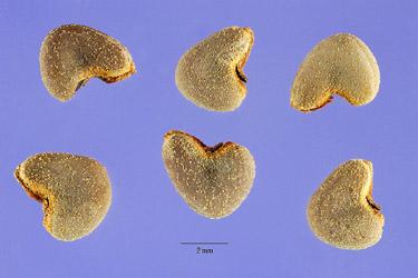 Velvetleaf seeds. Photo by Steve Hurst @ USDA-NRCS PLANTS Database