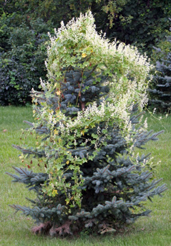 Wild cucumber is an aggressive vine that can nearly smother small trees.