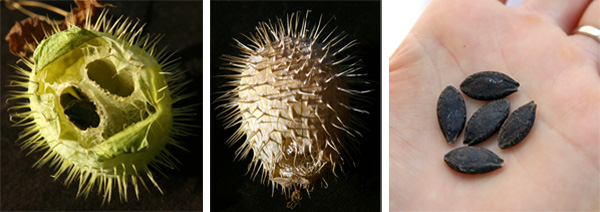 The mature fruits (L) dry out (C) and expell the dark brown or black seeds (R).
