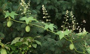 Wild cucumber can look like strings of green Chinese lanterns hanging in a tree.