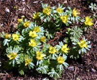 Cheerful clumps of winter aconite greet spring.