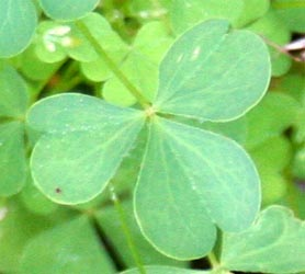 The trifolate leaves have heart-shaped leaflets.