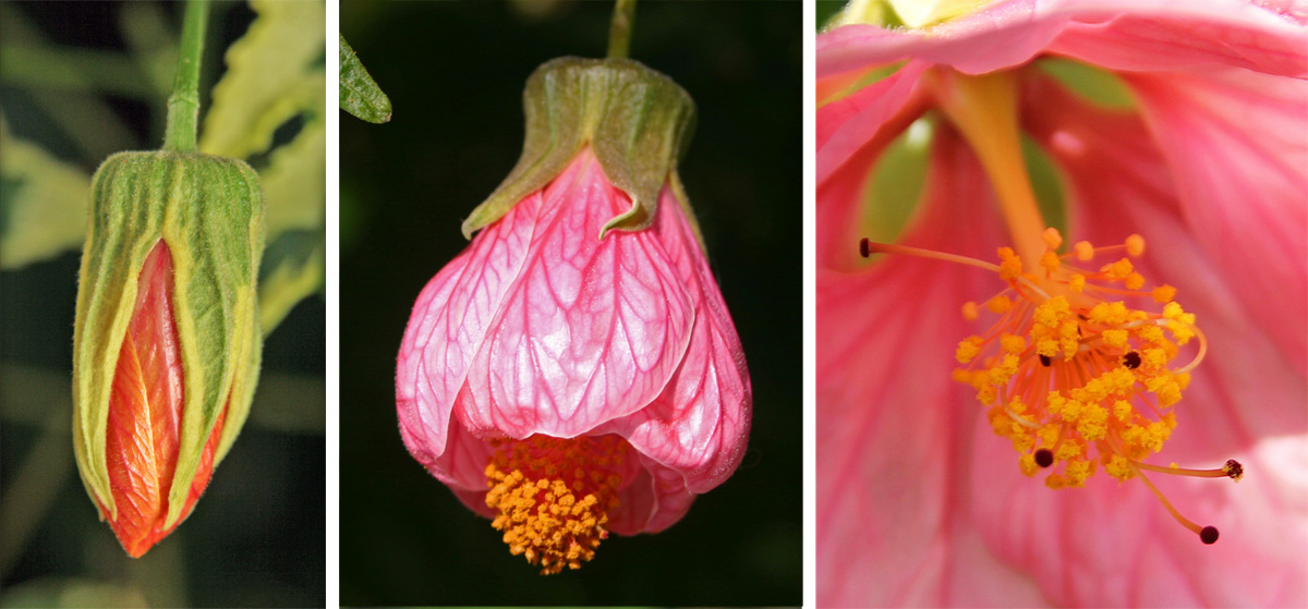 The lantern-like buds (L) open (C), to reveal a central staminal column typical of the mallow family (R).