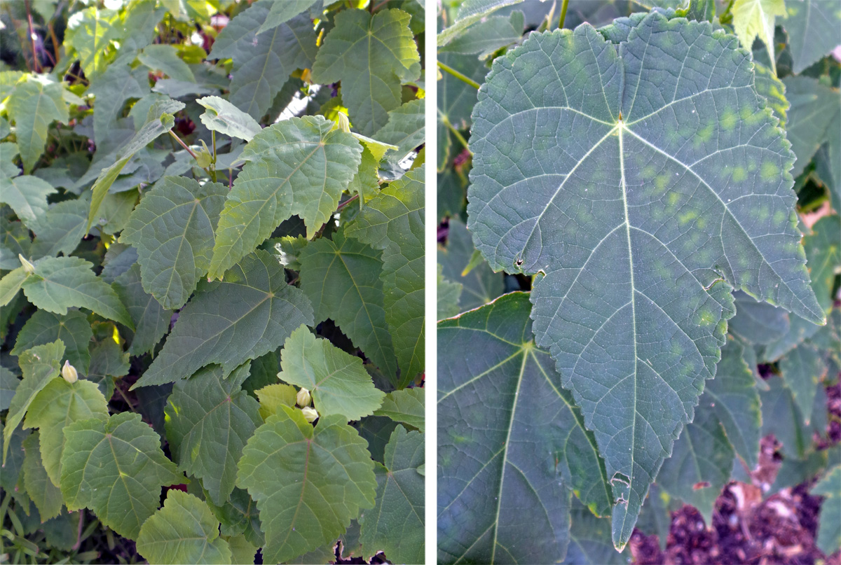 The leaves are palmate, varying in number and depth of the lobes.