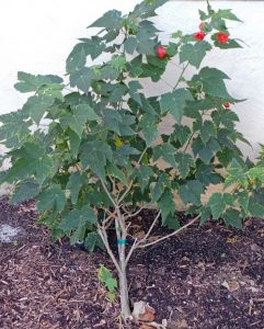 Abutilons are small shrubs, often grown as annuals in cool climates.