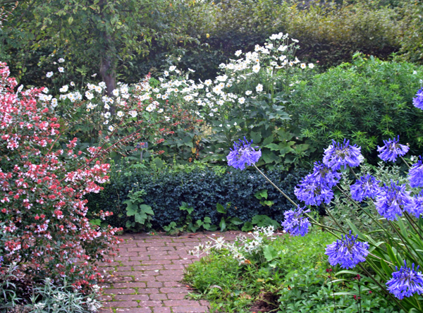 The white flowers of Anemone Honorine Jobert at the end of a path in Wisley Gardens, England.