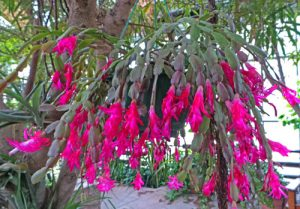 A brilliant pink-flowered specimen blooming in the DC Smith Conservatory on the UW-Madison campus.