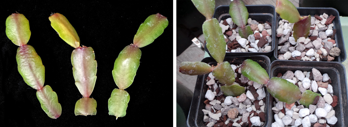 Stem cuttings (L) and cuttings potted up for rooting (R).