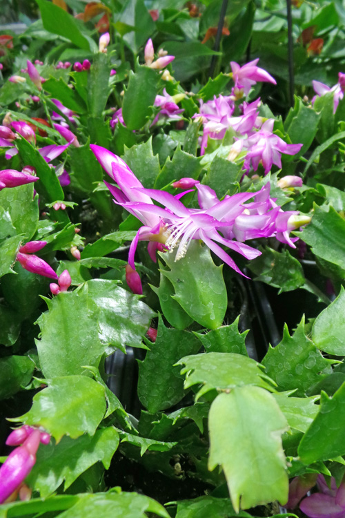 Holiday cactus for sale.