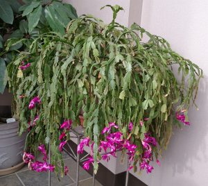 A large, old blooming holiday cactus.