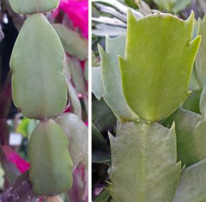 The leaves of a holiday cactus can help identify its parentage: the hybrid S. xbuckleyi has more rounded leaf edges (L) while S. truncata has pointed projections on the leaves (R).
