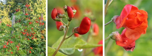 Scarlet runner beans flowering (L), with closeup of buds (C) and open flowers (R).