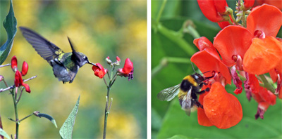 The red flowers are atractive to pollinators such as ruby throated hummingbirds (L) and bumble bees (R).