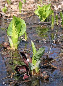 Skunk cabbage in swamp in spring.