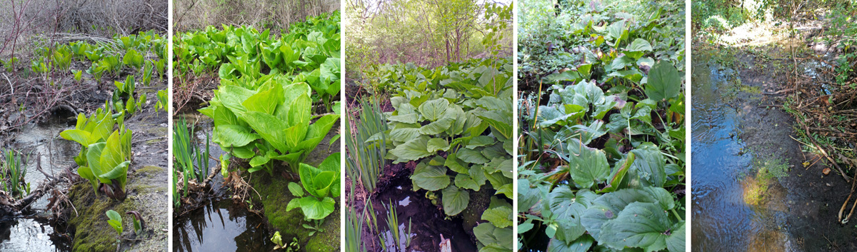 Skunk cabbage leafing out along a stream in early spring (L), two weeks later (LC), one month later (C), 3 months later (RC) and 4 months later (R).