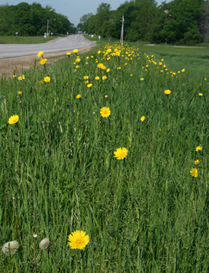 Yellow goatsbeard is common along roadsides and in other disturbed areas.