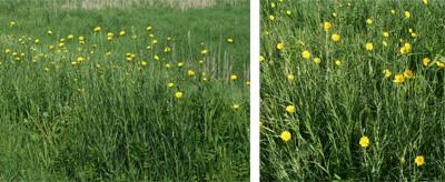 Yellow goatsbeard flowering among roadside grass.