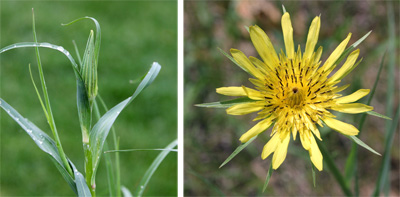 Straight leaves (L) and flower with extended bracts of Tragopogon dubius (R).