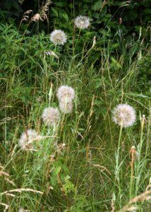 Seedheads of yellow goatsbeard among roadside grass.