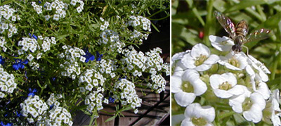 Sweet alyssum flowers attract large numbers of beneficial insects.