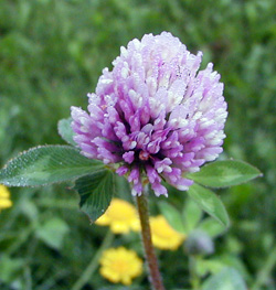 A clover flower.