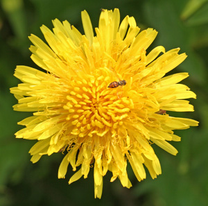 Dandelions are an early season flower visted by many natural enemies.