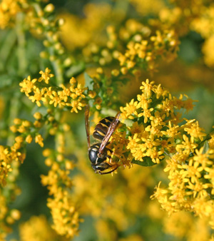 A wasp on goldenrod flowers.