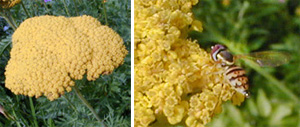 Yarrow is visited by many insects.