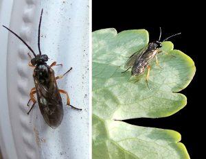 Adult columbine sawflies.