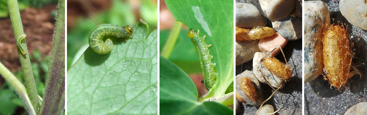 Young sawfl y on columbine stem (L), large larvae feeding on columbine leaves (LC and C), and several cocoons amid pea gravel (RC) and a single brown cocoon (R).