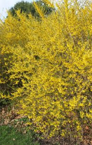 Forsythia flowers early.