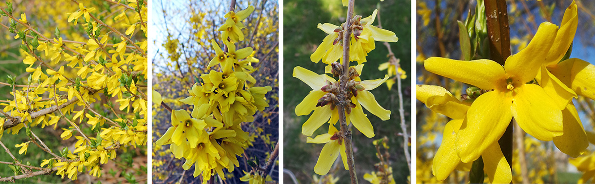 Forsythia blooms in early spring (L), with many flowers (LC) in clusters along the stems (RC). Each flower has four petals (R).