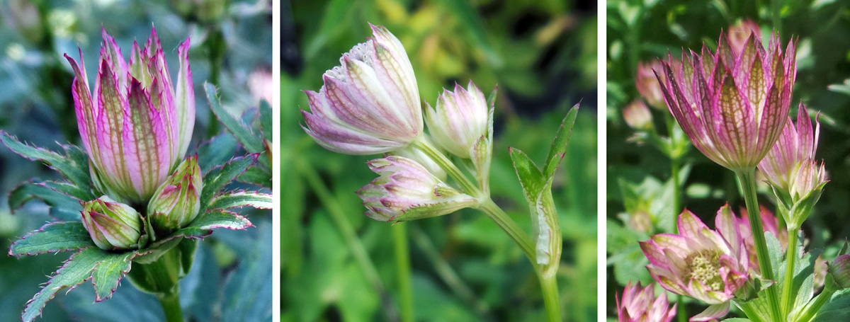 Astrantia blooms in summer with papery, petal-like bracts surrounding the tiny flowers.