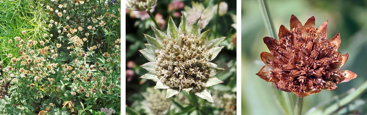 The dried bracts remain attractive after the flowers have finished blooming and can be used in dried arrangements.
