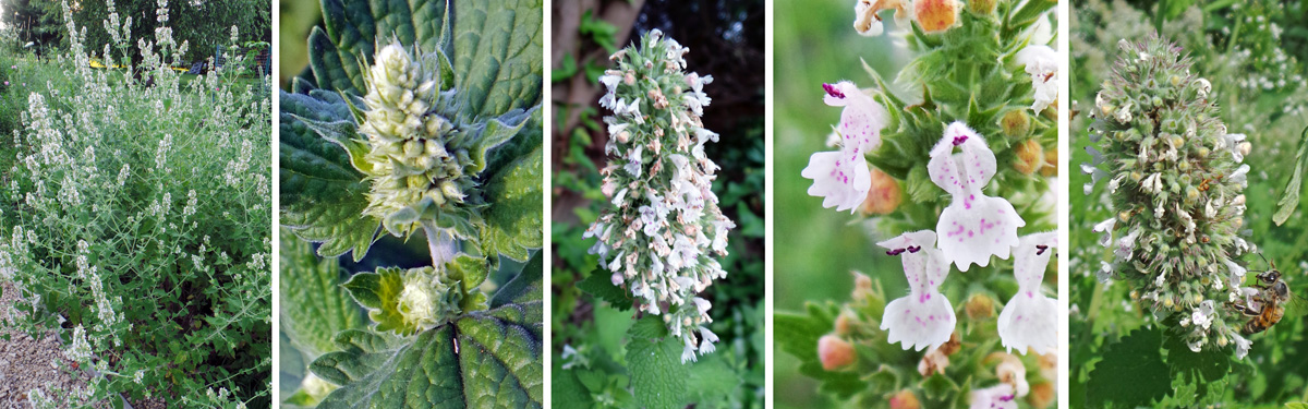 Catnip flowers on tall stems (L) in dense whorls—in bud (LC) and flowering (C), with bilabiate flowers (RC) that are attractive to bees and other pollinators (R).