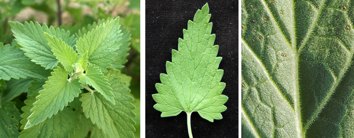 The grey-green leaves are alternate (L), with toothed edges (C) and covered with fine hairs (R).