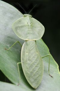 Looking like a leaf, the hooded mantid, Choeradodis rhombifolia, is common from Mexico to Peru.