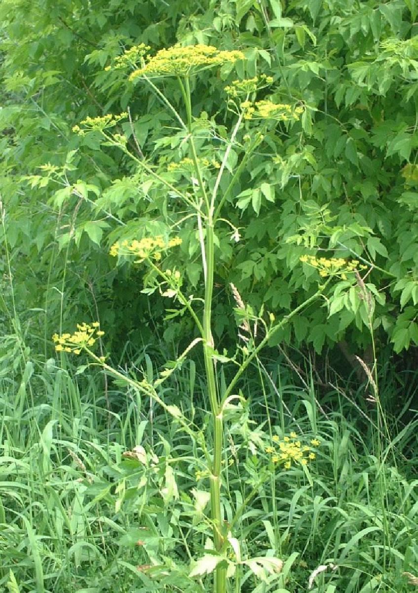 Image of wild parsnip